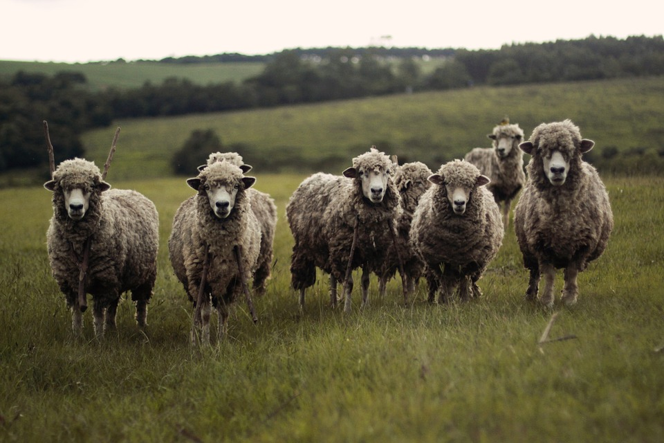 this image shows a flock of sheeps. keep safe during your farm visit by practicing caution