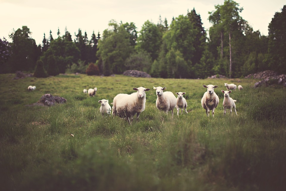 this image shows sheeps at the farm, one of the things you will see but keep in mind the ways on how to keep yourself from getting sick during your farm visit